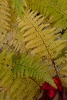 Fall  ferns in  White Mountain National Forest, New Hampshire.