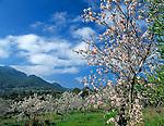 Spanien, Balearen, Mallorca, Mandelbluete bei Andratx | Spain, Balearic Islands, Mallorca, Almond blossom near Andratx
