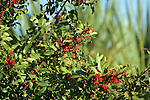 Brazilian pepper was introduced in the US as an ornamental, but has escaped to become a serious exotic pest in South Florida.