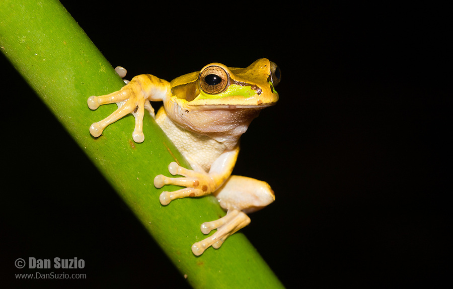 Masked Treefrog, Smilisca phaeota, near Arenal Volcano National Park, La Fortuna, Costa Rica. Also called the New Granada Cross-banded Treefrog.