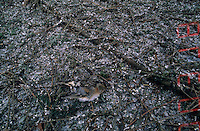 Brambling, Fringilla montifringilla,dead female at roosting place of 5 Million Finches, Bern, Switzerland, January 1998