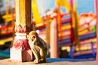 Cute baby monkey with blurred, colorful boats on the Yamuna River in the background, during Holi festival in Mathura Uttar Pradesh India