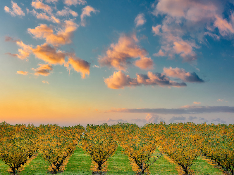 Peach orchard in fall color. Columbia River Gorge National Scenic Area, Washington