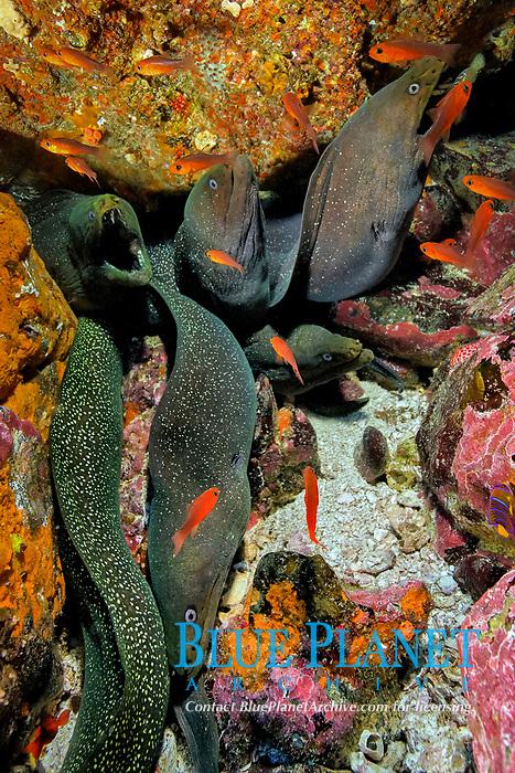 Whole full of Yellow-edged moray, Gymnothorax flavimarginatus, at Isla de Malpelo, Malpelo Island, Columbia, Pacific Ocean
