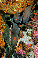 Whole full of Yellow-edged moray, Gymnothorax flavimarginatus, at Isla de Malpelo, Malpelo Island, Columbia, Pacific Ocean