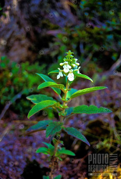 Rare Hawaiian mint (phyllostegia velutina) in Hakalau forest at the natural wildlife reserve