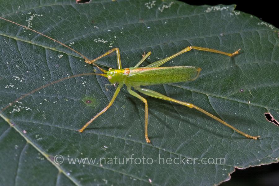 Gemeine Eichenschrecke, Männchen, Meconema thalassinum, Meconema varium, drumming katydid, oak bush-cricket, oak bush cricket, male, Tettigoniidae