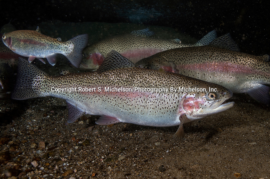 Rainbow Trout several fish on sand bottom