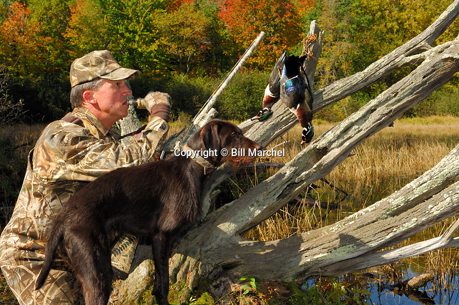 00280-065.03 Duck Hunting: Hunter wearing Max 4 is calling while pudelpointer looks on.  Two drake wood ducks in bag.  H3R1