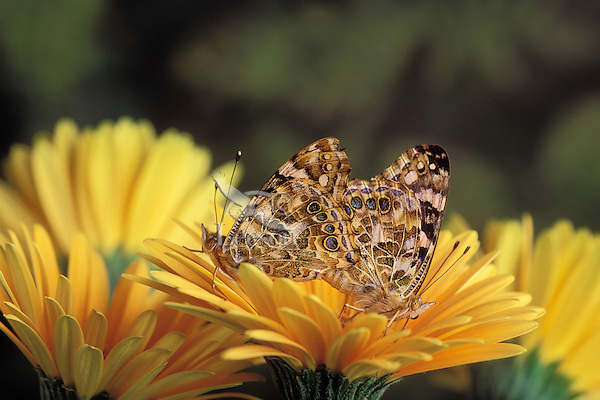 Painted Lady Butterflies (Cynthia cardui) - mating..North America.