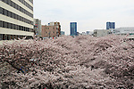 Cherry blossoms are in full bloom at Meguro river in Nakamegurgo on April 1, 2016, Tokyo, Japan. On Thursday, the Japan Meteorological Agency announced that Tokyo's cherry trees were in full bloom, three days earlier than usual, but two days later than last year. Meguro River runs for about 7.82km through Setagaya, Meguro and Shinagawa wards in downtown Tokyo, and many visitors come to see the cherry blossom trees along the river banks in spring. (Photo by Rodrigo Reyes Marin/AFLO)