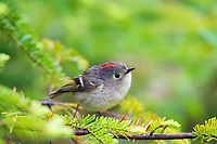 ruby-crowed kinglet, Regulus calendula, perched in spring in Nova Scotia, Canada, forest