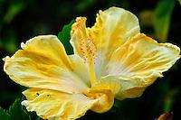 A close-up of a yellow hibiscus on Kaua'i.