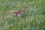 Brown thrasher (Toxostoma rufum) looking for insects in the grass