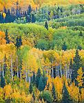 Gunnison National Forest, West Elk Mountains, CO: Aspen hillside in early fall