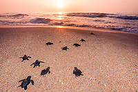 Kemp's ridley sea turtle hatchlings, Lepidochelys kempii (endangered), released to ocean after hatching in protected corral, Rancho Nuevo, Mexico, Gulf of Mexico, Atlantic Ocean