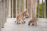 Ding Darling National Wildlife Refuge, Sanibel Island, Florida; three Raccoons (Procyon lotor), a mother and her two kits, lick fresh water from an overnight rain, off the boards of a ramp up to an observation tower © Matthew Meier Photography, matthewmeierphoto.com All Rights Reserved