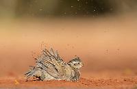 Northern Bobwhite (Colinus virginianus), young dust bathing, Rio Grande Valley, South Texas, Texas, USA