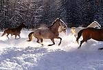 Open range horses run in snow, Methow Valley, Washington, USA