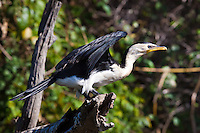 Little Pied Cormorant, Yellow Water, Kakadu NP, NT, Australia