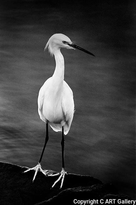 Egret Pose (b&w), Balboa Island, CA.