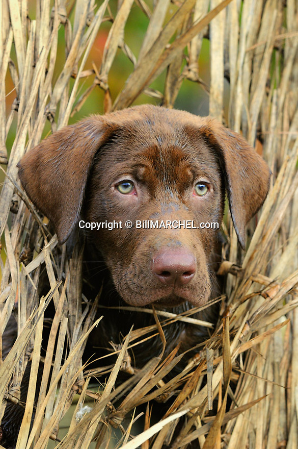 00975-015.19 Labrador Retriever: Chocolate Lab puppy is peering from blind.  Hunt, dog, new.