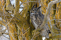Adult male Great Horned Owl (Bubo virginianus) roosting. Washington, USA. February.