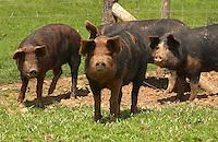 Duroc x Berkshire porkers.