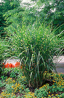 Miscanthus sinensis 'Strictus' similar Zebrinus ornamental grass with Sanvitalia Gold Braid and Celosia in garden use