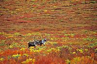 Caribou bulls on alaskan tundra, fall.