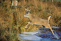 MD422  White-tailed Deer Buck jumping across stream.  Western U.S.  November.