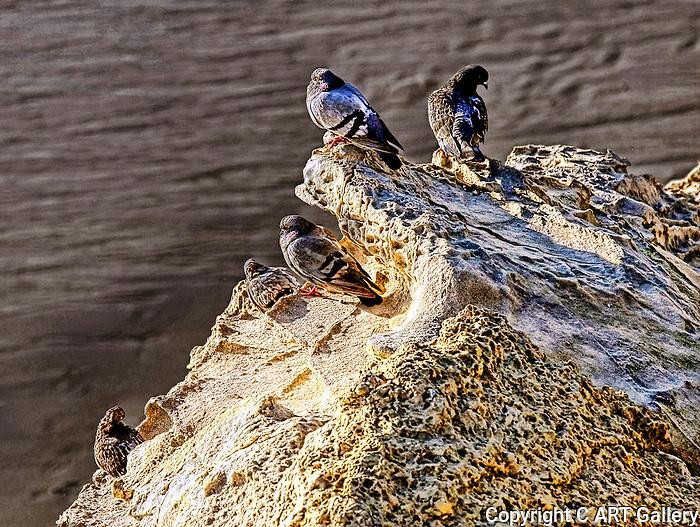 Birds - Pigeons on a Rock, Wild Birds of Newport Beach, California. Photo by Alan Mahood.