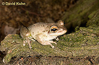 0201-0906  Cuban Treefrog (Cuban Tree Frog) on Tree, Osteopilus septentrionalis  © David Kuhn/Dwight Kuhn Photography