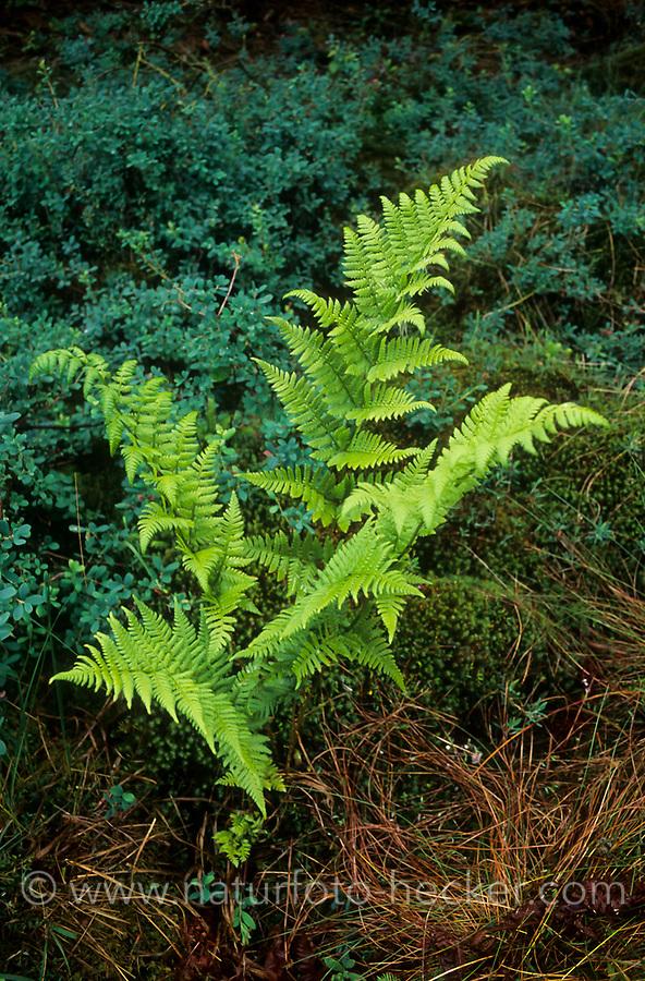 Gewöhnlicher Dornfarn, Karthäuserfarn, Dorniger Wurmfarn, Dryopteris carthusiana, Dryopteris spinulosa, narrow buckler-fern, spinulose woodfern