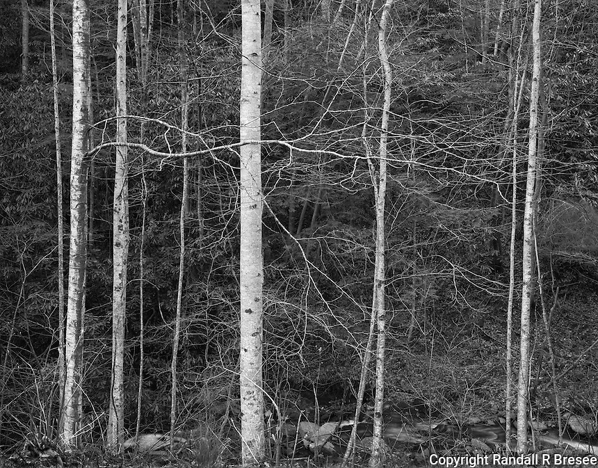 """""""Trees Awaiting Spring"""" <br /> Great Smoky Mountains National Park, Tennessee<br /> <br /> To my eyes, most trees display tense energy immediately before new leaves are pushed from branches in early spring. This photograph was an attempt to convey that energy. The scene was located on the shaded side of a mountain and scene contrast was low so I expanded image contrast on the film by increasing the film development time."""