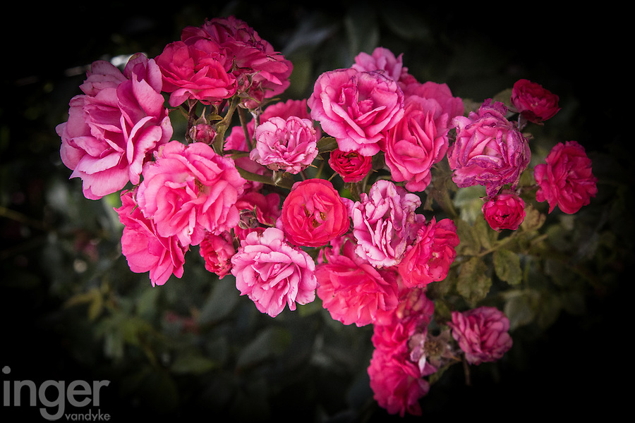 Roses in a Provence garden, France