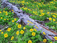Dead tree and Balsamroot wildflowers. Columbia River Gorge National Scenic Area. Oregon