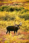 Moose calf, Denali National Park, Alaska