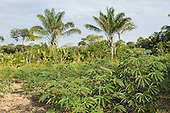 Amazon, Brazil. Plantation of manioc (cassava), bananas, medicinal plants and palms.