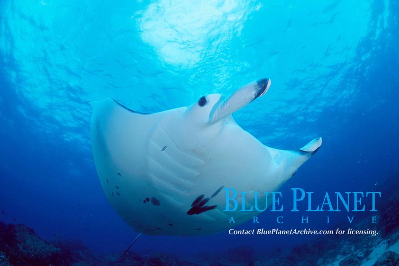 reef manta ray, Mobula alfredi Manta Bommie, N. Stradbroke Island, near Brisbane, Queensland, Australia