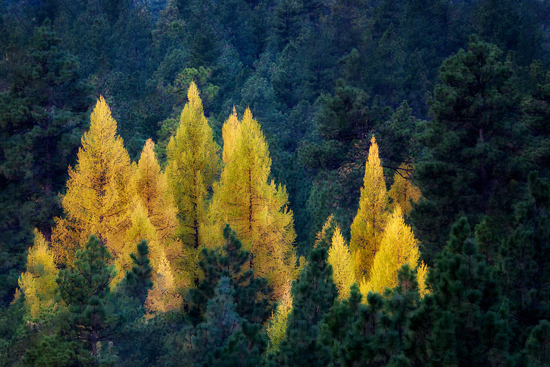 Larch (Tamarack) trees in fall color. Along the Metolious River, Oregon