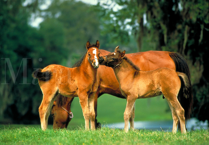Arabian foals touching. Love kinship togetherness safety innocence affection. horse, horses, animals. Florida.