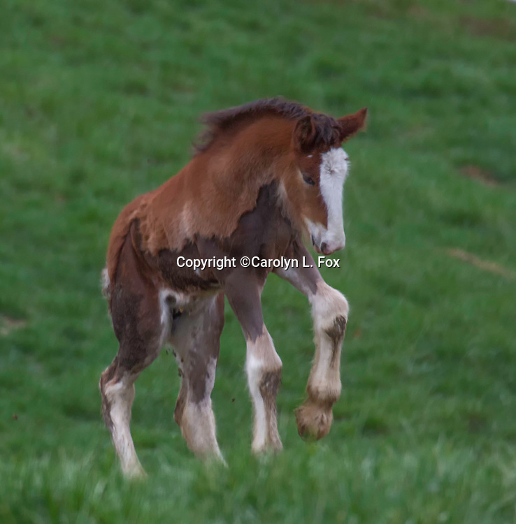 A clydesdale foal romps in a pasture in Missouri.