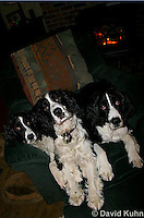 0730-0821  Three English Springer Spaniels, Canis lupus familiaris © David Kuhn/Dwight Kuhn Photography.
