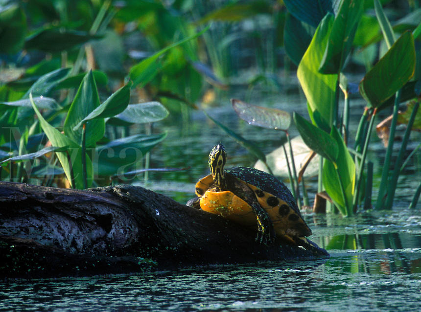 Turtle basking on log, Wakodohatchee Wetlands, Delray, Florida