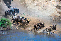 Wildebeest herd jumping into the Mara River during the great migration between Kenya and Tanzania, in the famous Masai Mara national park, Africa