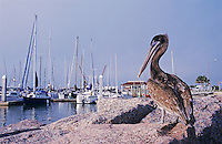 Brown Pelican, Pelecanus occidentalis,immature in Harbor, Port Aransas, Texas, USA