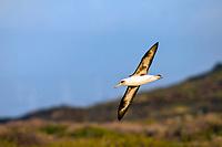 Laysan Albatross Flying, Phoebastria immutabilis, Ka'ena Point State Park, Oahu, Hawaii, USA, Pacific Ocean