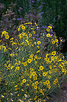 Madia elegans, (Elegant tarweed) yellow flowering wildflower with California native plants in pollinator garden at Los Angeles Natural History Museum