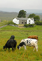 Beef cattle and farmhouse, Shap, Cumbria. View.